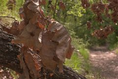 Avond bosbos van grote langzaam verdwenen bladeren eiken boomstam, spinneweb Royalty-vrije Stock Foto's