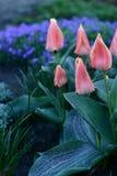 Avondfoto van gesloten tulpen stock foto