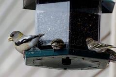 Avondgrosbeak en Pijnboom Siskins bij vogelvoeder royalty-vrije stock foto
