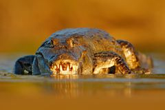 Avondlicht met krokodil Portret van Yacare-Kaaiman, krokodil in het water met open snuit, grote tanden, Pantanal, Brazilië STI stock afbeeldingen
