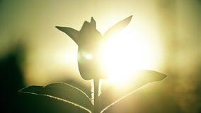 Avondzon neer omhoog door bladeren bij zonsopgang, tijdtijdspanne stock video