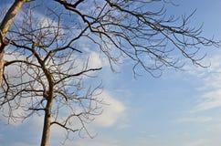 Avrivna filialer av trädet i nedgångsäsong Royaltyfri Foto