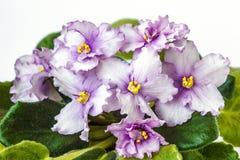 Avskiljer purpurfärgad saintpauliaionantha en för den afrikanska violeten av världs`en s mest populära houseplants, överenskommel Arkivbild