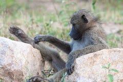 Avslappnande babian Arkivbilder