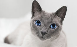 Avslappnande blåa ögon för Siamese katt Arkivbilder