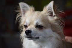 Avslappnande Chihuahua Royaltyfria Foton