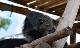 Avslappnande dag för Bearcat royaltyfria bilder