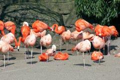 Avslappnande flamingo Fotografering för Bildbyråer