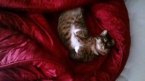 Avslappnande katt på filten arkivbild