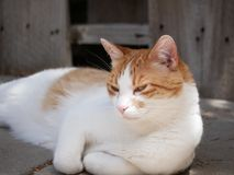 Avslappnande orange och vit katt utomhus royaltyfri fotografi