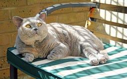 Avslappnande rasren katt på bänk royaltyfri fotografi