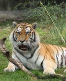 avslappnande siberian tiger Arkivfoto