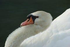 avslappnande swan royaltyfri fotografi