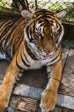 avslappnande tiger arkivfoto
