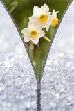 Avslöjande pingstlilja för blixtlås Royaltyfria Bilder