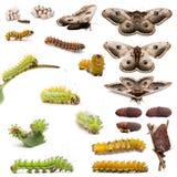 Avsluta evolution av den jätte- påfågelmalen Arkivfoton
