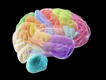 Avsnitten av den mänskliga hjärnan royaltyfri illustrationer
