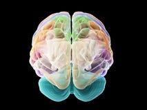 Avsnitten av den mänskliga hjärnan vektor illustrationer