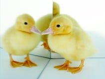 avspeglad duckling Arkivbild