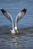 Avtagen Seagull Arkivfoto