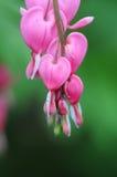 avtappande blommahjärta Arkivfoton