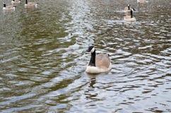 Avutarda en el lago Imagen de archivo