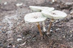 Avvelenamento del fungo nella foresta fotografia stock