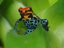 Avveleni il amazonica Iquitos di Ranitomeya della rana del dardo su bromelia Fotografia Stock