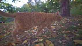 Avventure di un gatto smarrito arancio nel parco della città di Odessa in Ucraina archivi video