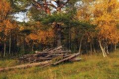 Avverka av träd Royaltyfria Bilder