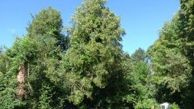 Avverka ett stort träd lager videofilmer