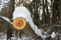 Avverkad timmer i skogen Royaltyfria Bilder
