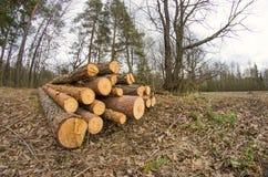 Avverkad timmer i skogen Fotografering för Bildbyråer