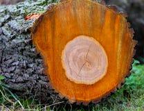 Avverkad trädstam Arkivbilder