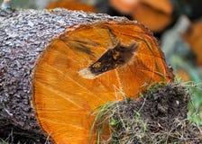 Avverkad trädstam Royaltyfri Foto