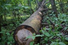 Avverkad tree i skogen royaltyfri foto