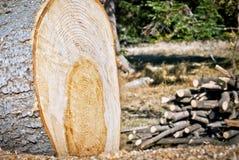 Avverkad tree i skogen Arkivfoton