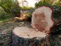 Avverkade europeiska prydliga träd arkivfoton