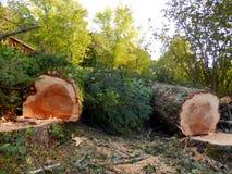 Avverkade europeiska prydliga träd royaltyfria foton