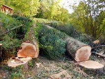 Avverkade europeiska prydliga träd arkivfoto