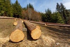 Avverkade träd i skogen royaltyfri foto