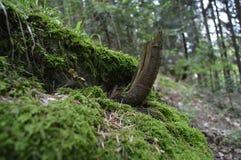Avverkade träd på mossa Fotografering för Bildbyråer