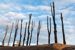 Avverkade trees. Royaltyfri Foto