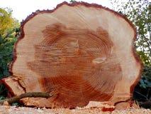 Avverkat europeiskt prydligt träd royaltyfria bilder