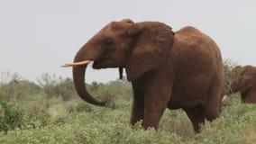 Avvertimento dell'elefante stock footage