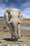 Avvicinamento dell'elefante Fotografia Stock Libera da Diritti