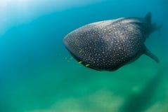 Avvicinamento dello squalo di balena Immagini Stock