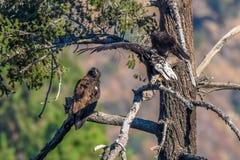 Avvistamento raro Eagle calvo americano in serie 6 di California del sud Fotografie Stock Libere da Diritti