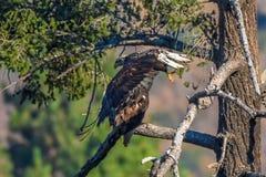 Avvistamento raro Eagle calvo americano in serie 3 di California del sud Fotografia Stock