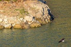 Avvistamento raro Eagle calvo americano in serie di California del sud Immagini Stock Libere da Diritti